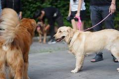 Golden retriever-Hund, der nebeneinander mit seinem Eigentümer geht stockbild