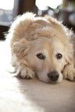 Golden retriever-Hund, der sich in der familiären Umgebung hinlegt Lizenzfreies Stockbild