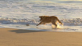 Golden retriever-Hund, der Spielzeug auf Strand jagt stock video footage