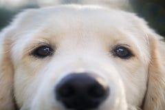 Golden retriever-Hund draußen Lizenzfreies Stockfoto