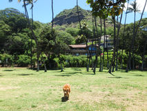 Golden retriever-Hund geht durch Park mit Diamond Head Crater Lizenzfreie Stockfotografie