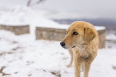 Golden retriever-Hund im Winter Lizenzfreies Stockbild