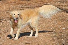 Golden retriever-Hund mit quetschverbundenem Endstück und Schenkelfedern Stockbild