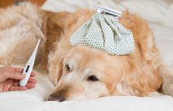 Golden retriever-Hundekälte stockfotografie