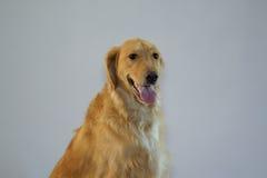 Golden retriever-Hundesitzen Lizenzfreie Stockbilder