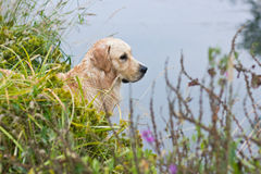 Golden retriever hunting Stock Image