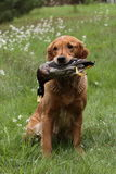Golden retriever hunting Stock Photos