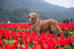Golden retriever i blommorna Fotografering för Bildbyråer