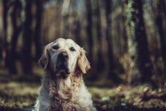 Golden retriever i busken Fotografering för Bildbyråer