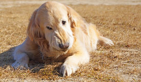 Golden retriever i Japan Arkivfoton