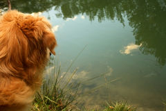Golden retriever i natur Royaltyfria Foton