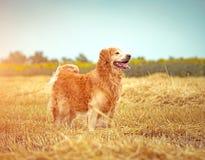 Golden retriever i sugröret Arkivfoton
