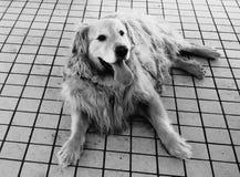 Golden retriever i svartvitt Fotografering för Bildbyråer