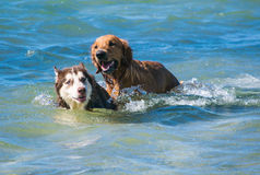 Golden retriever i Syberyjscy szczeniaki na brzeg wyrzucać na brzeg Fotografia Royalty Free