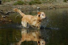 Golden retriever i vatten med reflexion royaltyfri fotografi