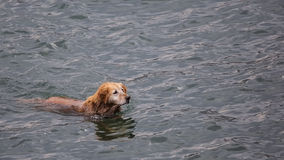 Golden retriever im Meer Stockbild
