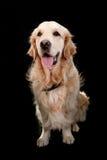 Golden retriever im schwarzen Hintergrund Stockfoto