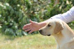 Golden retriever im Training Stockfotos