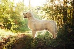 Golden retriever im Wald lizenzfreie stockfotos