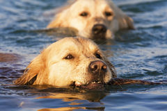 Golden Retriever In The Water Stock Photo