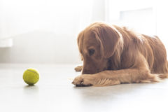 A golden retriever Stock Photography