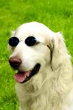 Golden retriever intellectual Royalty Free Stock Photography