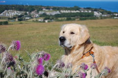 Golden Retriever in Isle of Wight Stock Photos