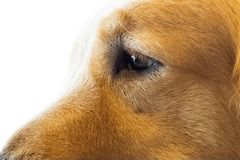 Golden Retriever isolate on white background,front view , Clipping path royalty free stock photo