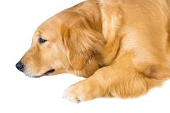 Golden Retriever isolate on white background,front view , Clipping path royalty free stock images
