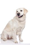 Golden Retriever Stock Photography