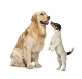 Golden retriever and jack russell playing Stock Photos