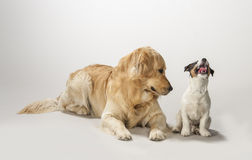 Golden retriever and jack russell terrier puppy. Sitting on a white background waiting for food stock images