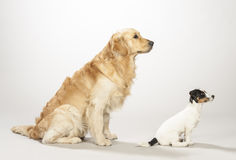 Golden retriever and jack russell terrier puppy Royalty Free Stock Photos