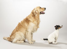 Golden retriever and jack russell terrier puppy. Sitting on a white background waiting for food stock image