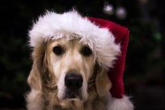 Golden retriever jest prześladowanym być ubranym Santa kapelusz przy bożymi narodzeniami obrazy stock