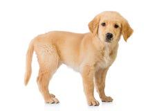 Golden retriever jest prześladowanym pozycję odizolowywającą w białym tle Fotografia Royalty Free