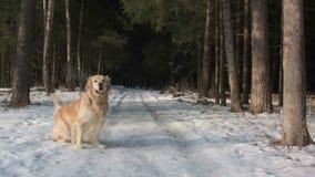 Golden retriever jest prześladowanym wainting w lesie zbiory