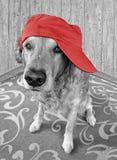 Golden retriever jest ubranym czerwoną nakrętkę Obrazy Stock