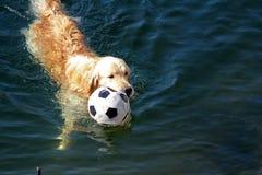 Golden retriever jouant avec la boule Image stock