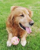 Golden retriever jouant avec une boule Photo libre de droits