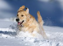 Golden retriever jouant dans la neige, vallée d'ours, la Californie Photo stock