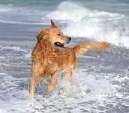 Golden retriever joven en la playa Imágenes de archivo libres de regalías