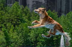 Golden Retriever jumping through the air Stock Image