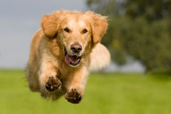 Golden Retriever jumping over a green meadow. With blue sky royalty free stock images