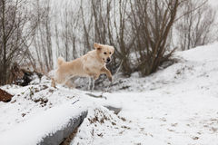 Golden Retriever jumping in snow Royalty Free Stock Photo