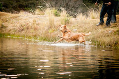 Golden retriever jumping in the water Stock Photography