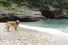 Golden retriever jumping in the water Stock Images