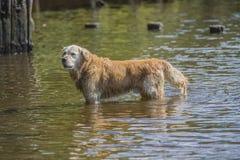 Golden retriever kąpać w morzu Zdjęcie Royalty Free
