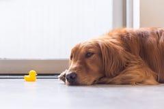 Golden Retriever kłamać na ziemi Zdjęcie Stock