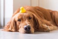 Golden Retriever kłamać na ziemi Zdjęcie Royalty Free